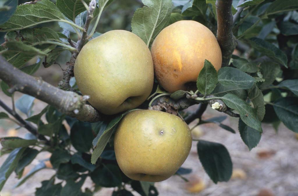 apple 'King Russet'