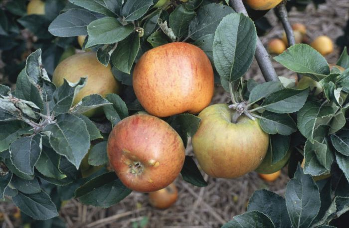 apple 'King of the Pippins'