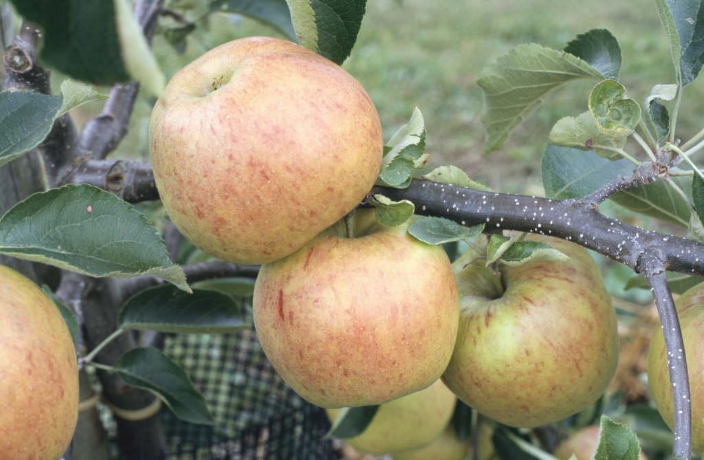 apple 'Jonagold'