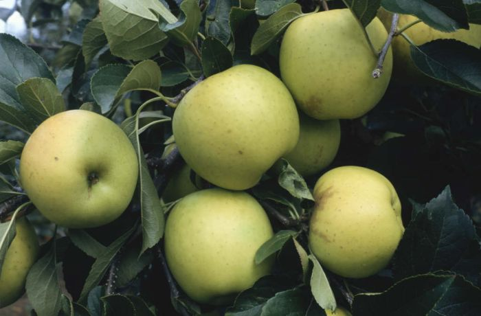 apple 'Greensleeves'