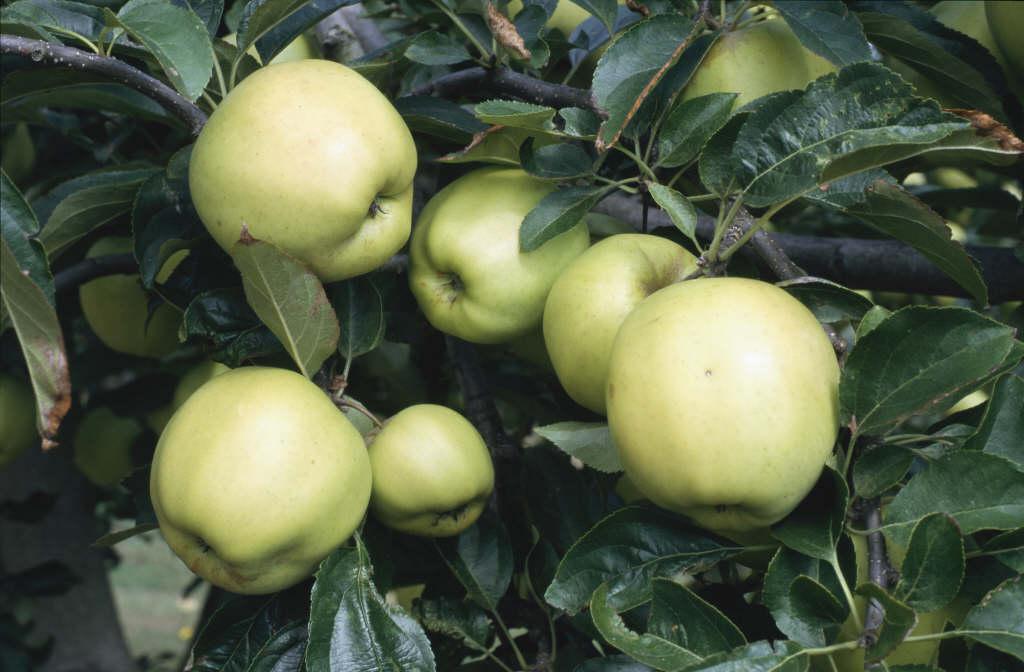 apple 'Golden Delicious'