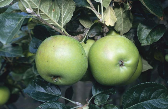 apple 'Edward VII'