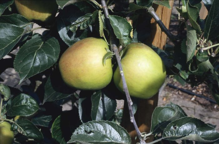 apple 'Claygate Pearmain'