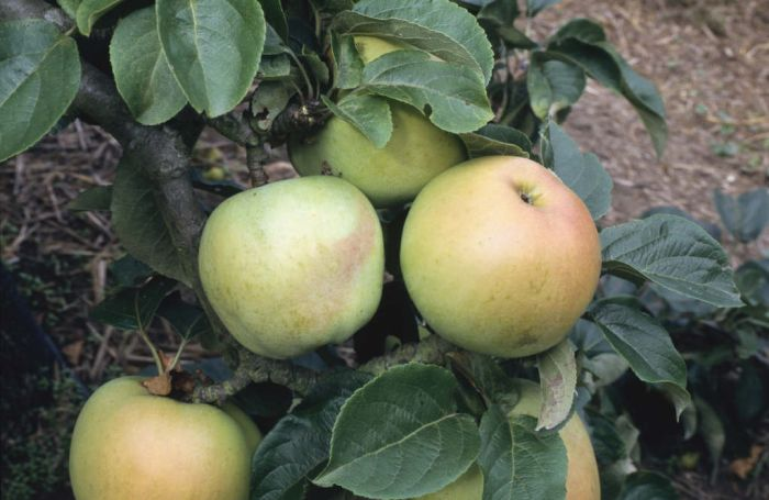 apple 'Arthur Turner'
