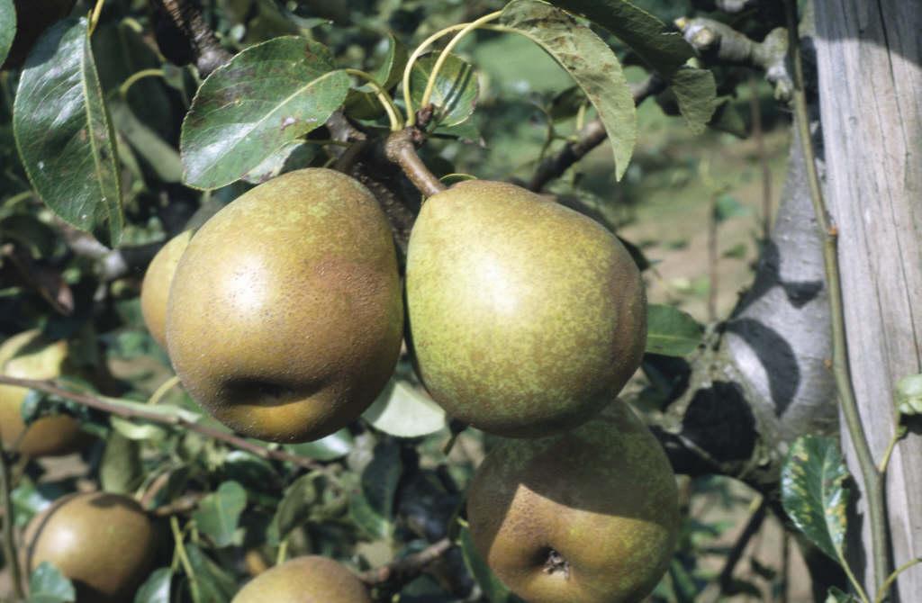 pear 'Doyenné du Comice'