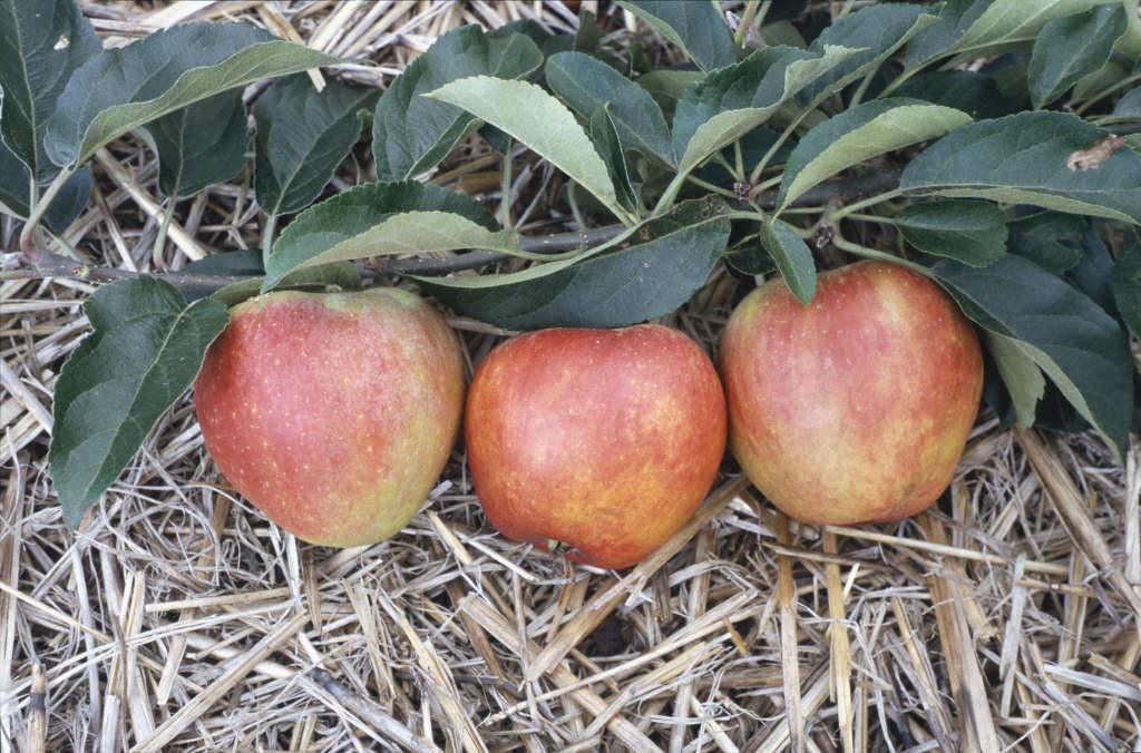 apple 'Worcester Pearmain'