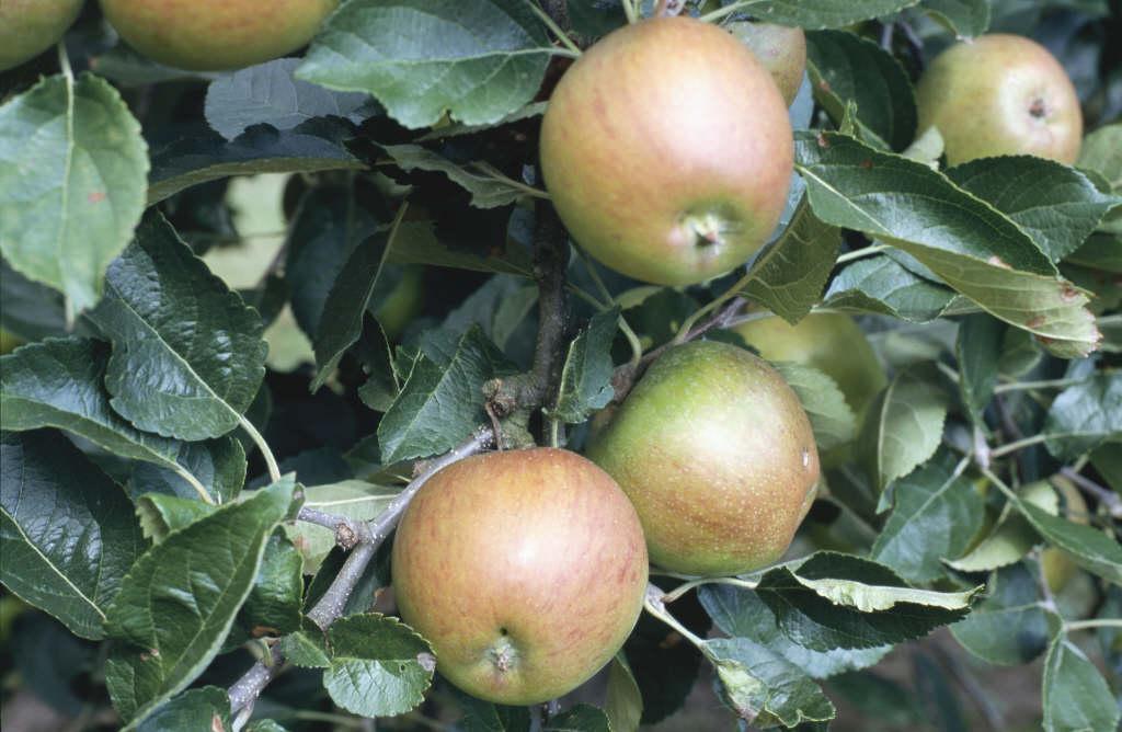 apple 'Winston'