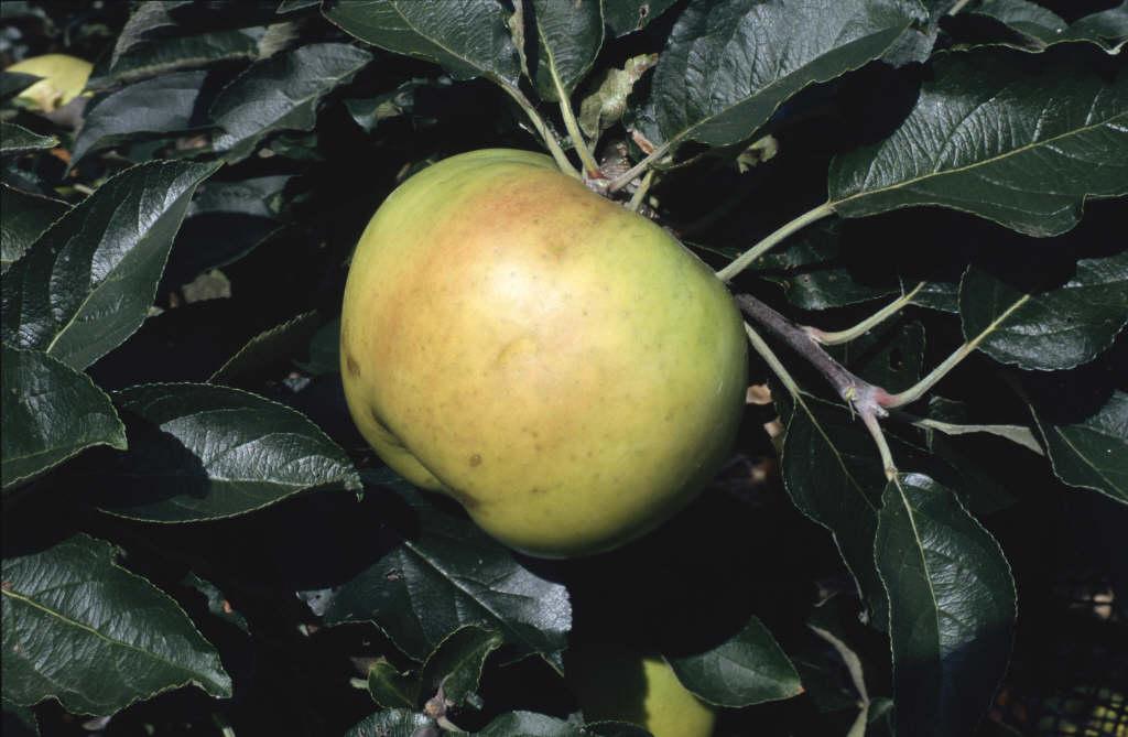 apple 'Warner's King'