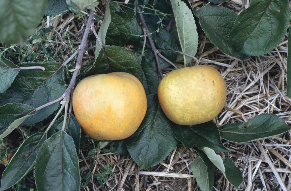 apple 'Saint Edmund's Pippin'