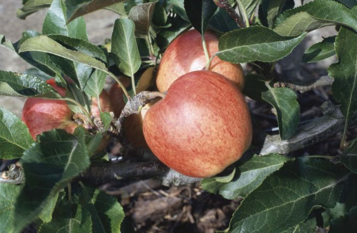 apple 'Royal Gala'