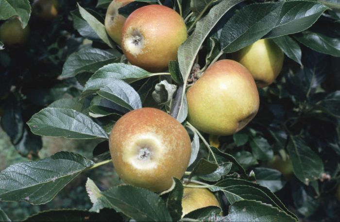 apple 'Rosemary Russet'