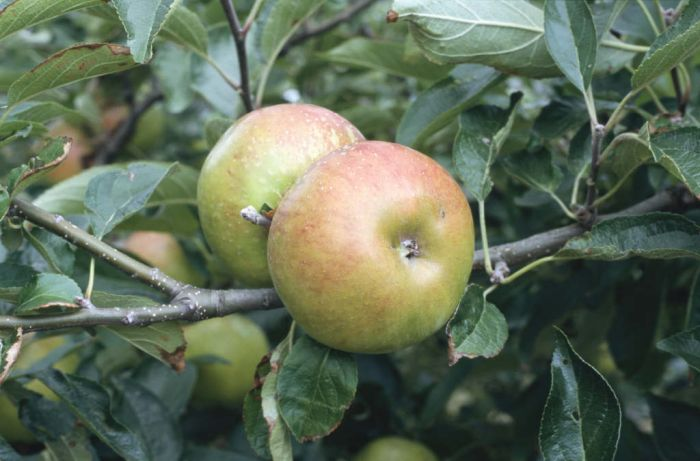 apple 'Pixie'
