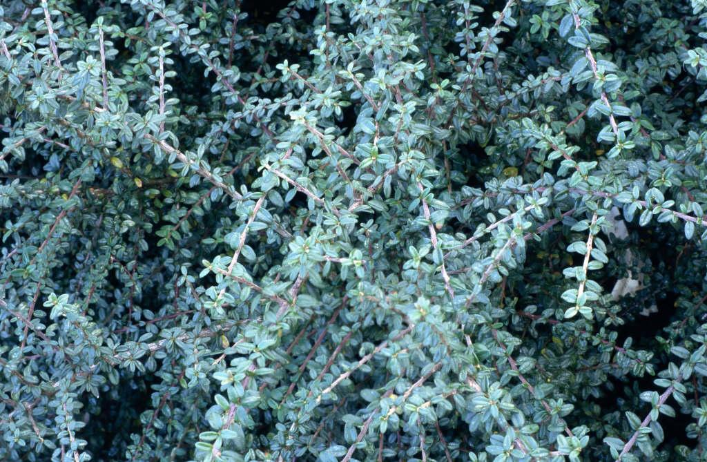 Tibetan cotoneaster 'Decorus'