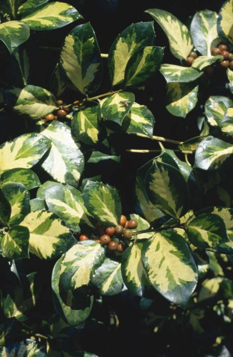 holly 'Lawsoniana'
