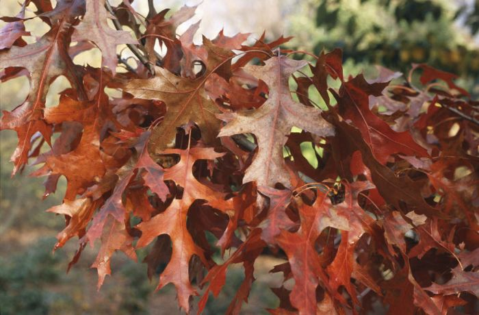 scarlet oak 'Splendens'