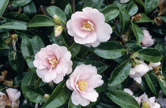 Rhs advice tips on garden indoor plants plant finder for Camelia sasanqua
