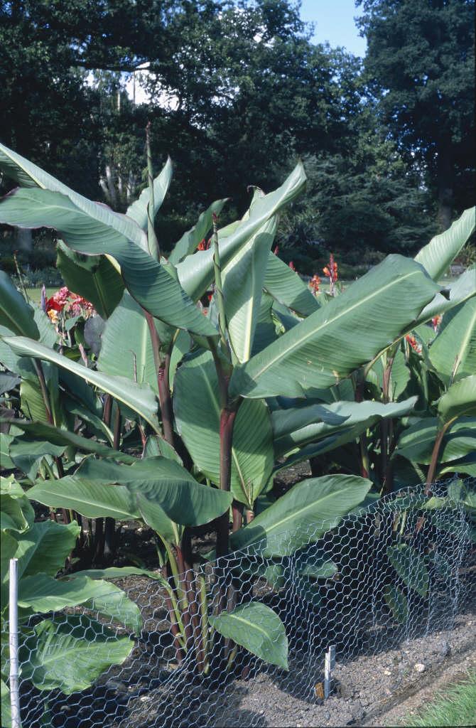 canna 'Musifolia'