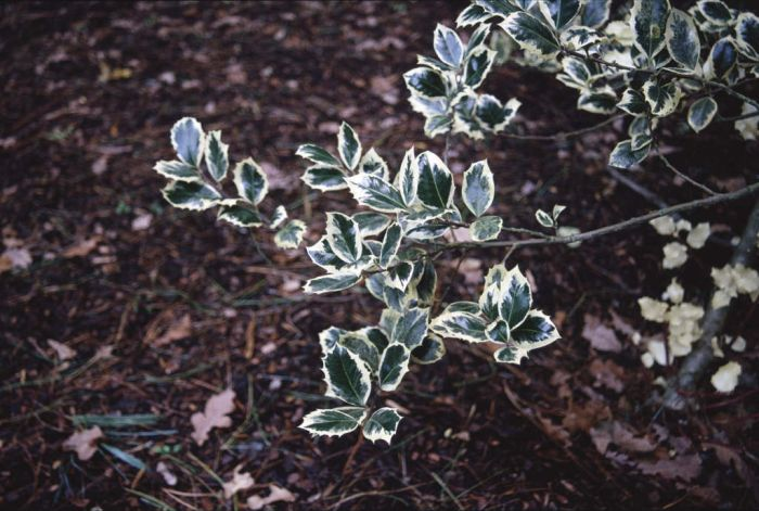 holly 'Silver Queen'