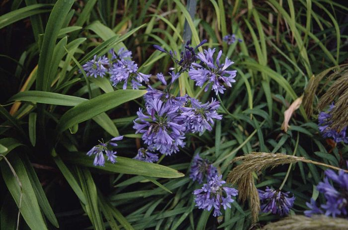 spreading bell agapanthus