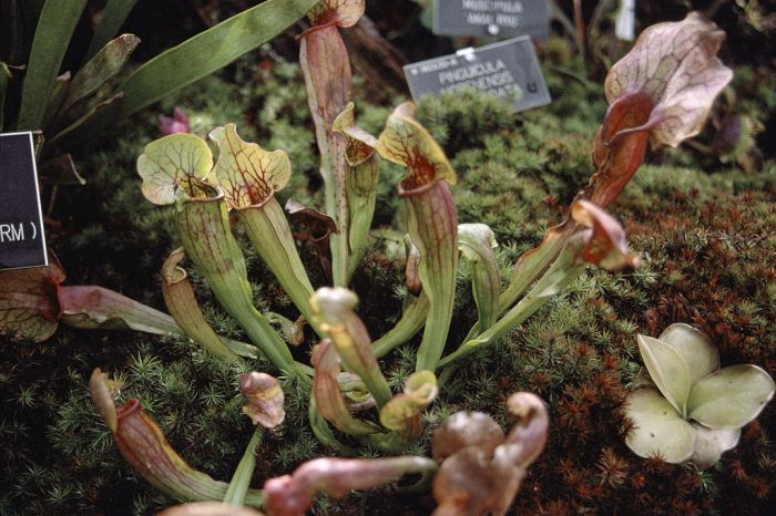Chelson pitcher plant