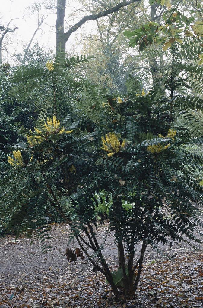 lomaria-leaved mahonia