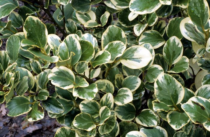New Zealand broadleaf 'Variegata'