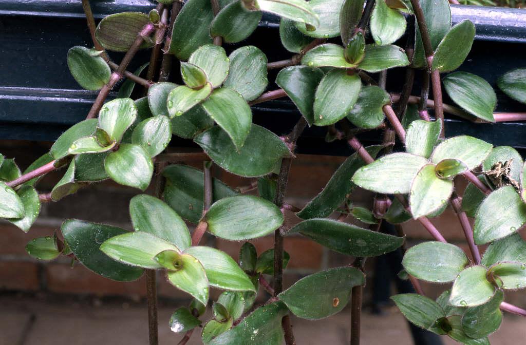 silver inch plant 'Purpusii'