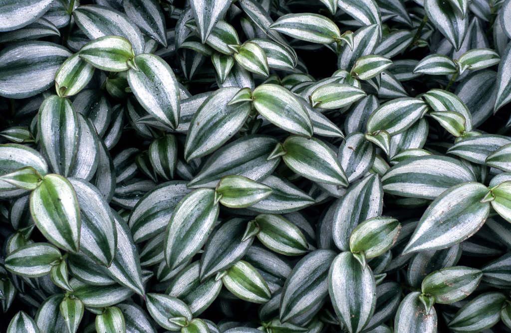 Tradescantia Zebrina Silver Inch Plant Rhs Gardening