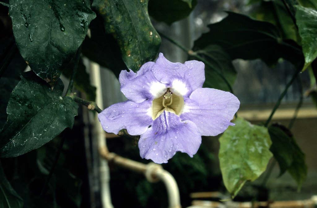 Bengal clock vine