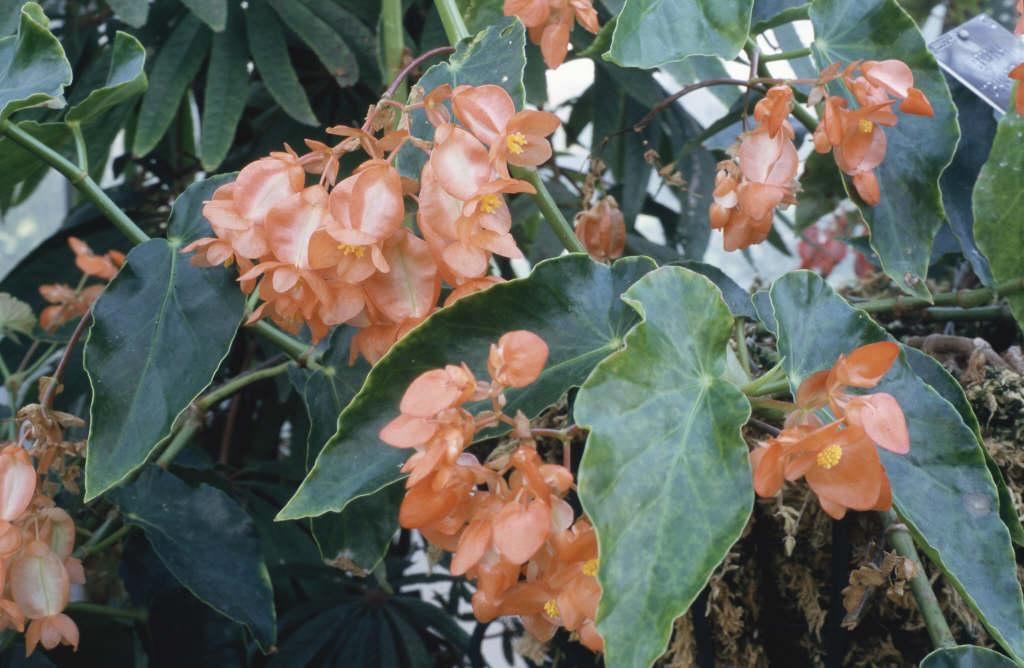 begonia 'Orange Rubra'