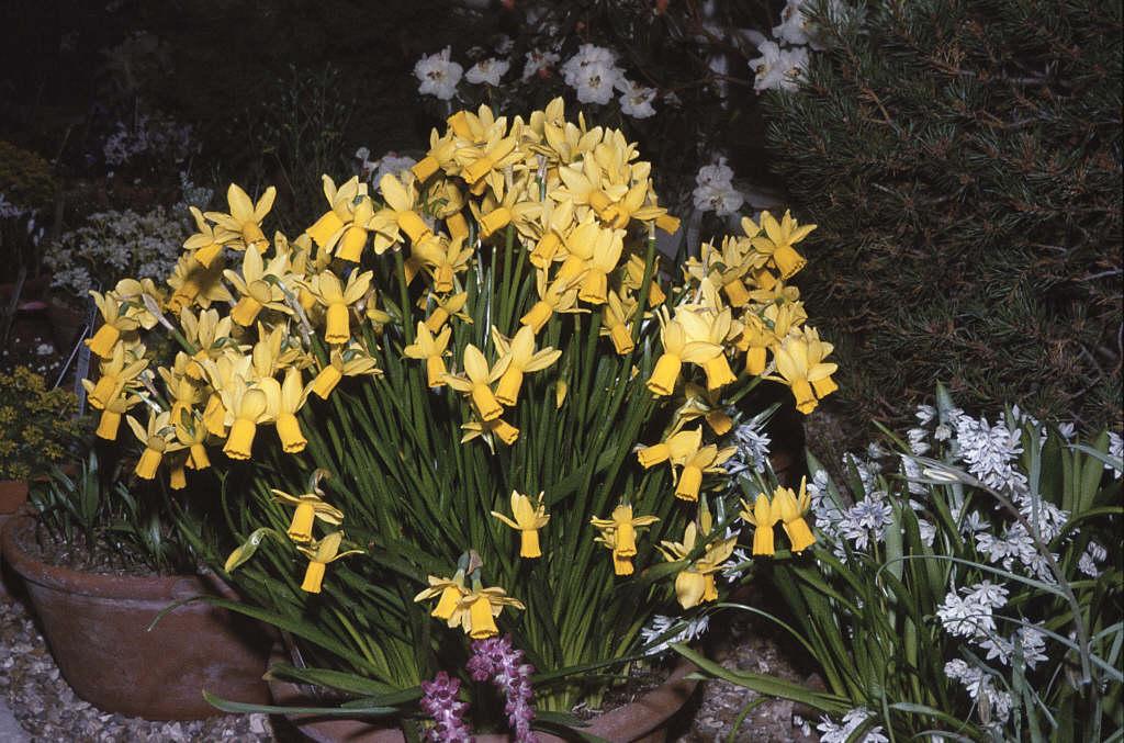 daffodil 'Jumblie'