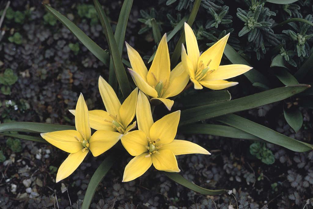 Iran tulip