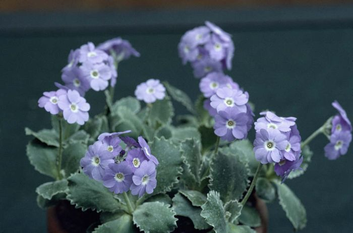 silver-edged primrose 'Linda Pope'