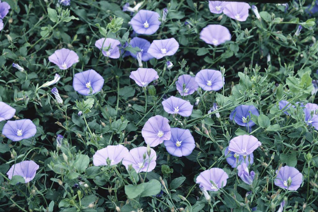 blue rock bindweed