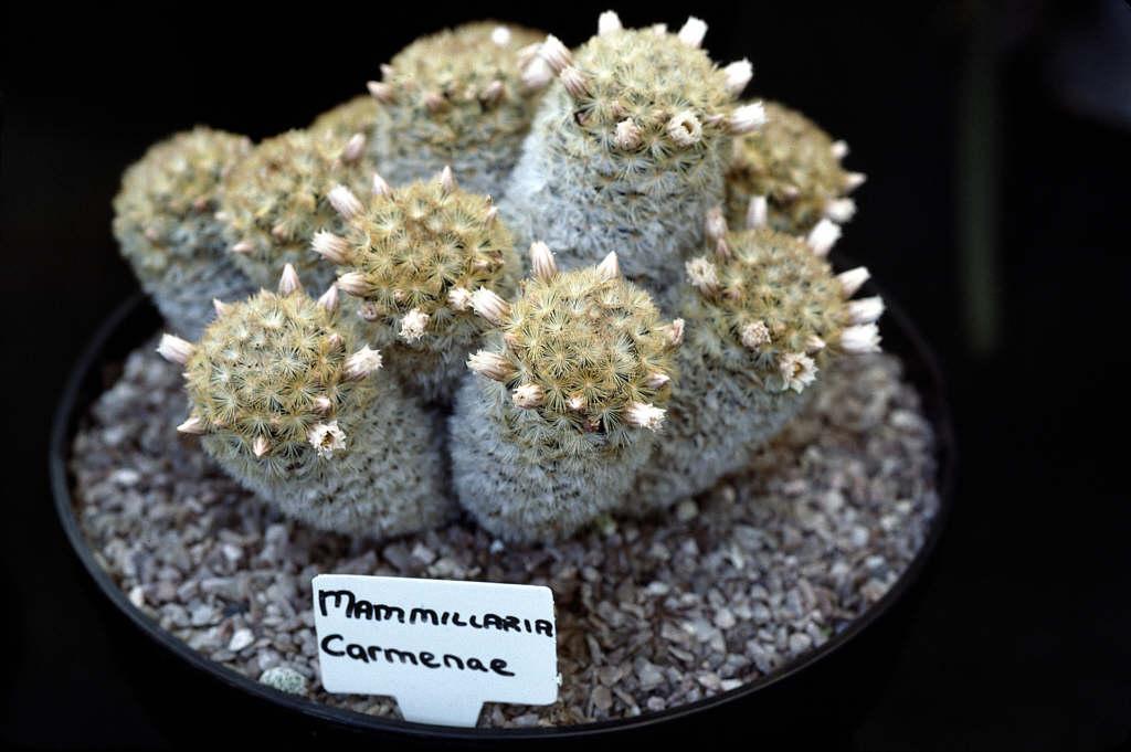 Isla Carmen pincushion cactus