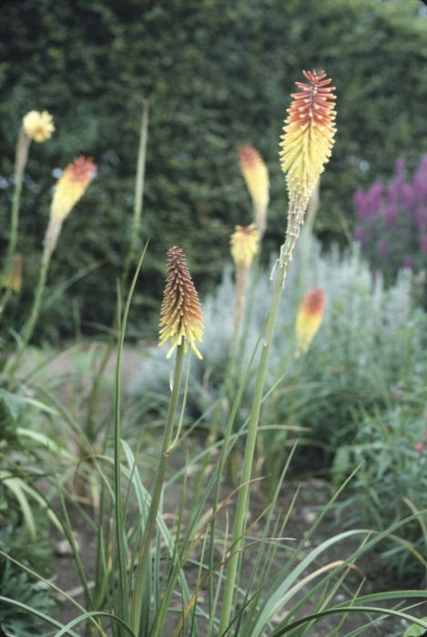 red-hot poker 'Royal Standard'