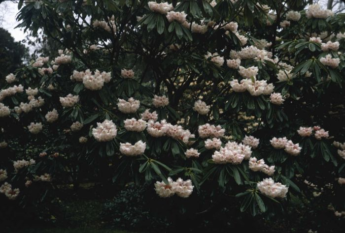 beautiful-face rhododendron