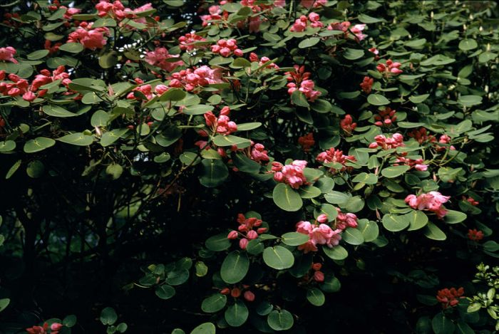 round-leaved rhododendron