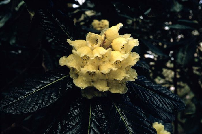 great Chinese rhododendron