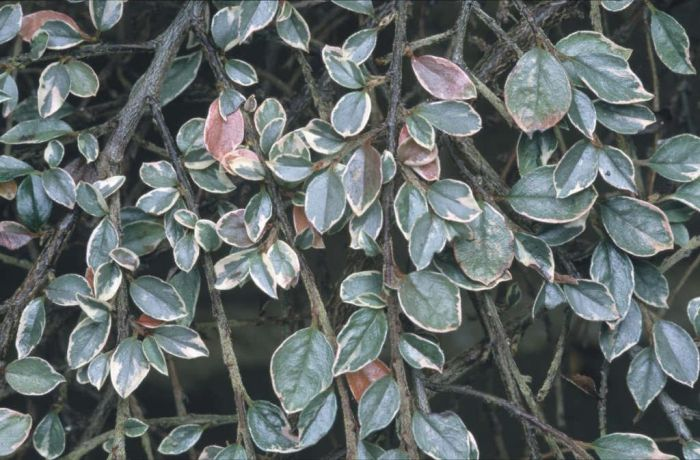 variegated purple-flowered cotoneaster