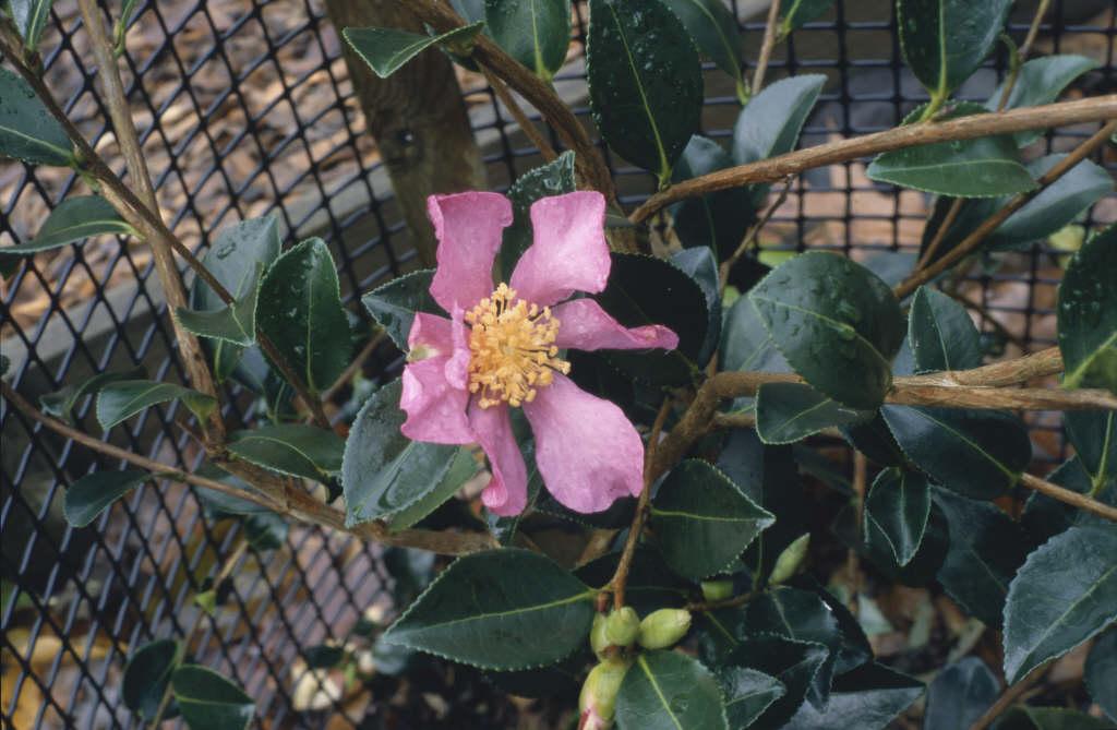 camellia 'Hugh Evans'