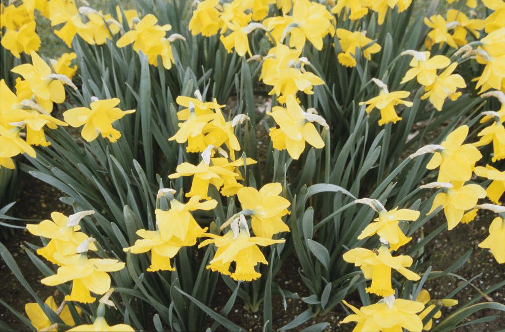 daffodil 'Arkle'