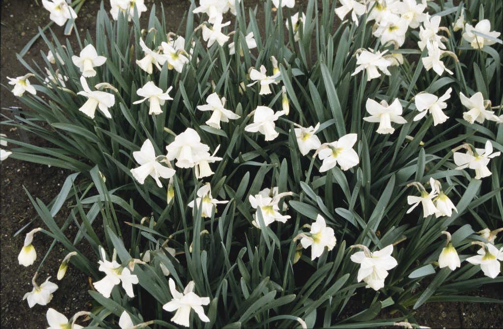 daffodil 'Desdemona'