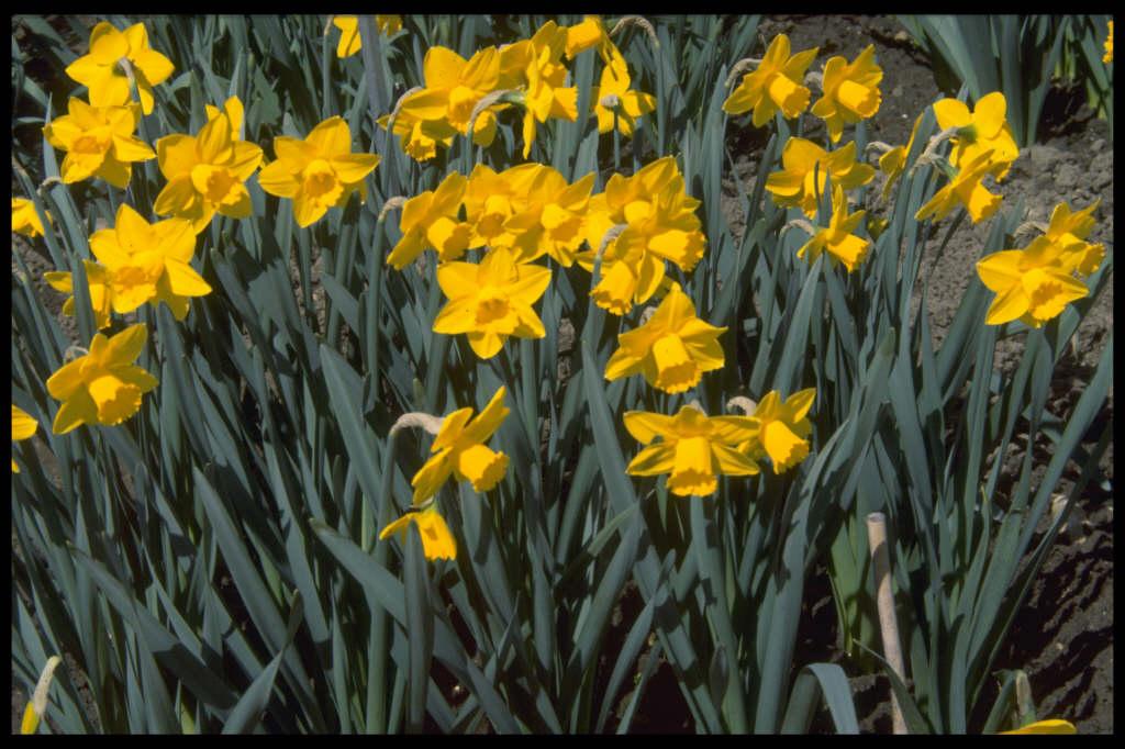 daffodil 'Bryanston'