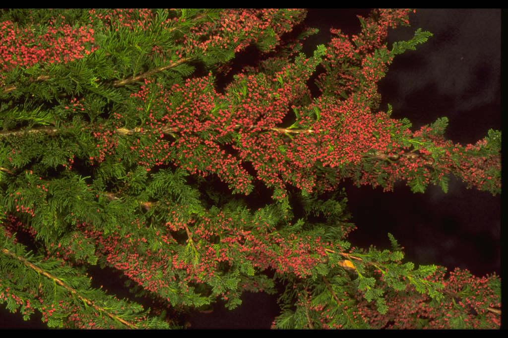 Lawson's cypress 'Little Spire'