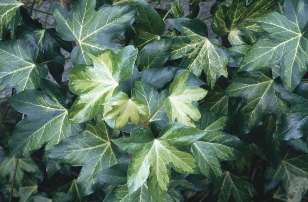 tree ivy 'Annemieke'