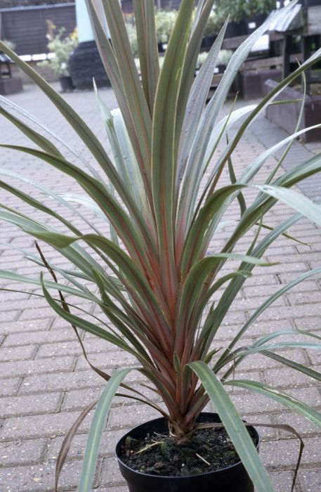 cabbage palm 'Sundance'
