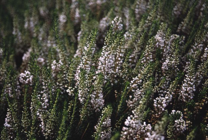 Cornish heath 'Cornish Cream'