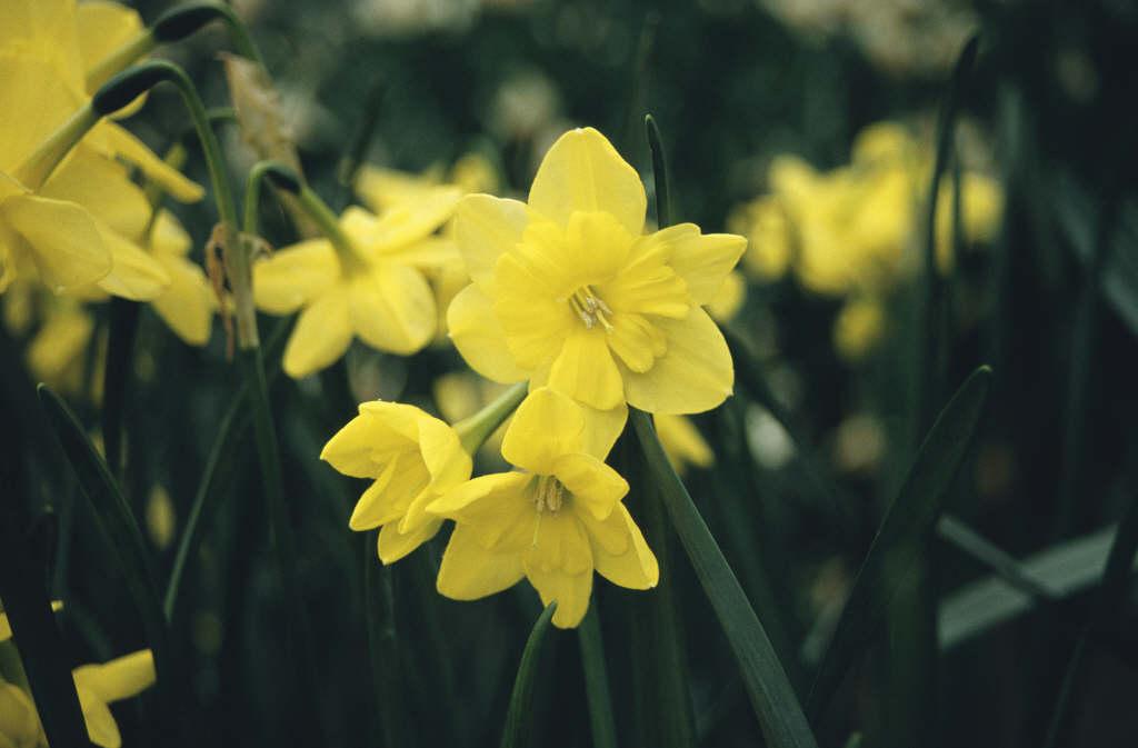 daffodil 'Tripartite'