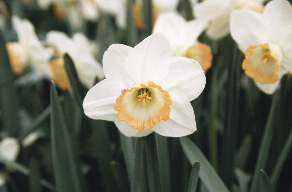 daffodil 'Rainbow'